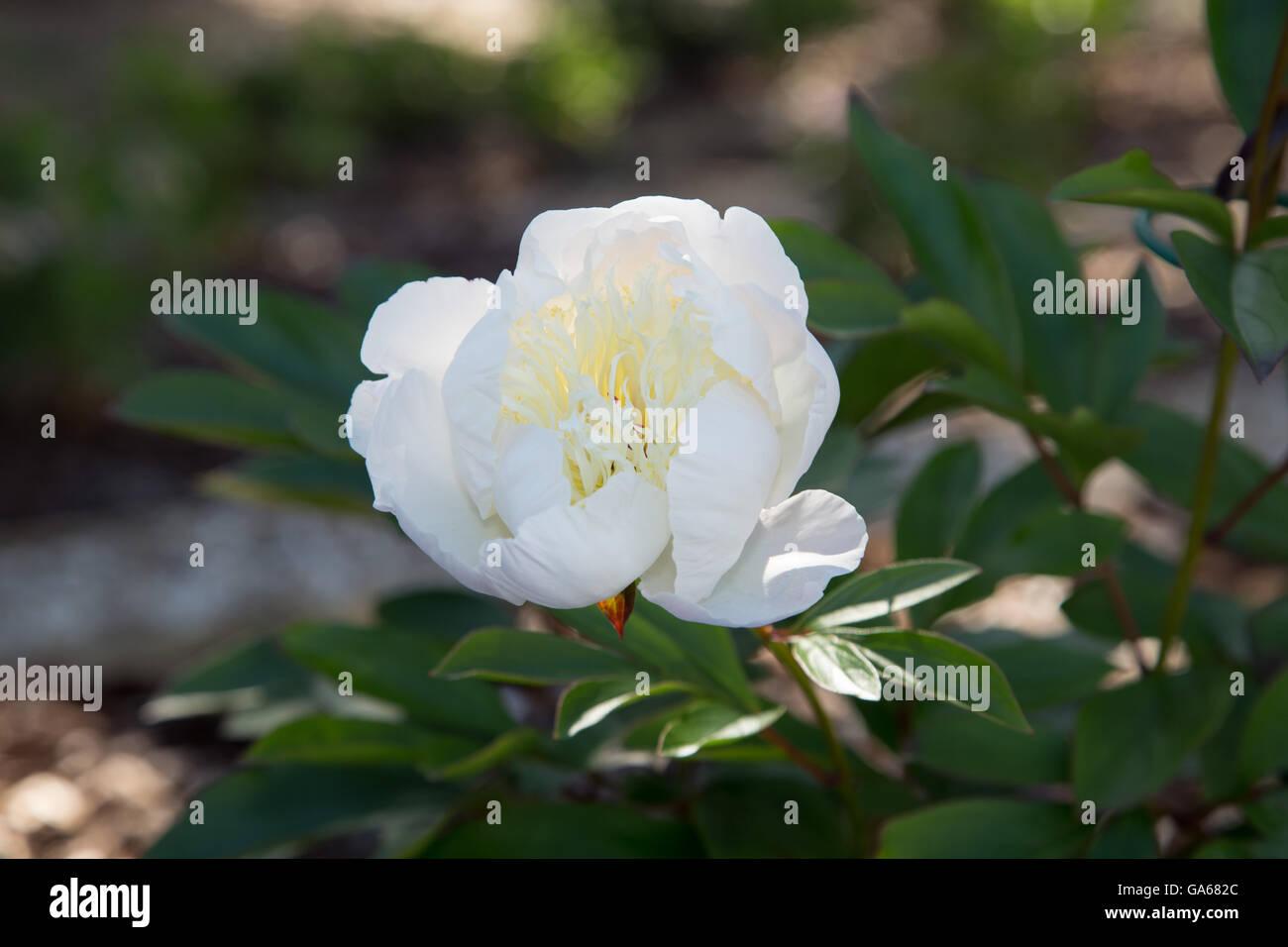 White peony Duchesse de Nemours flower head in a garden - Stock Image