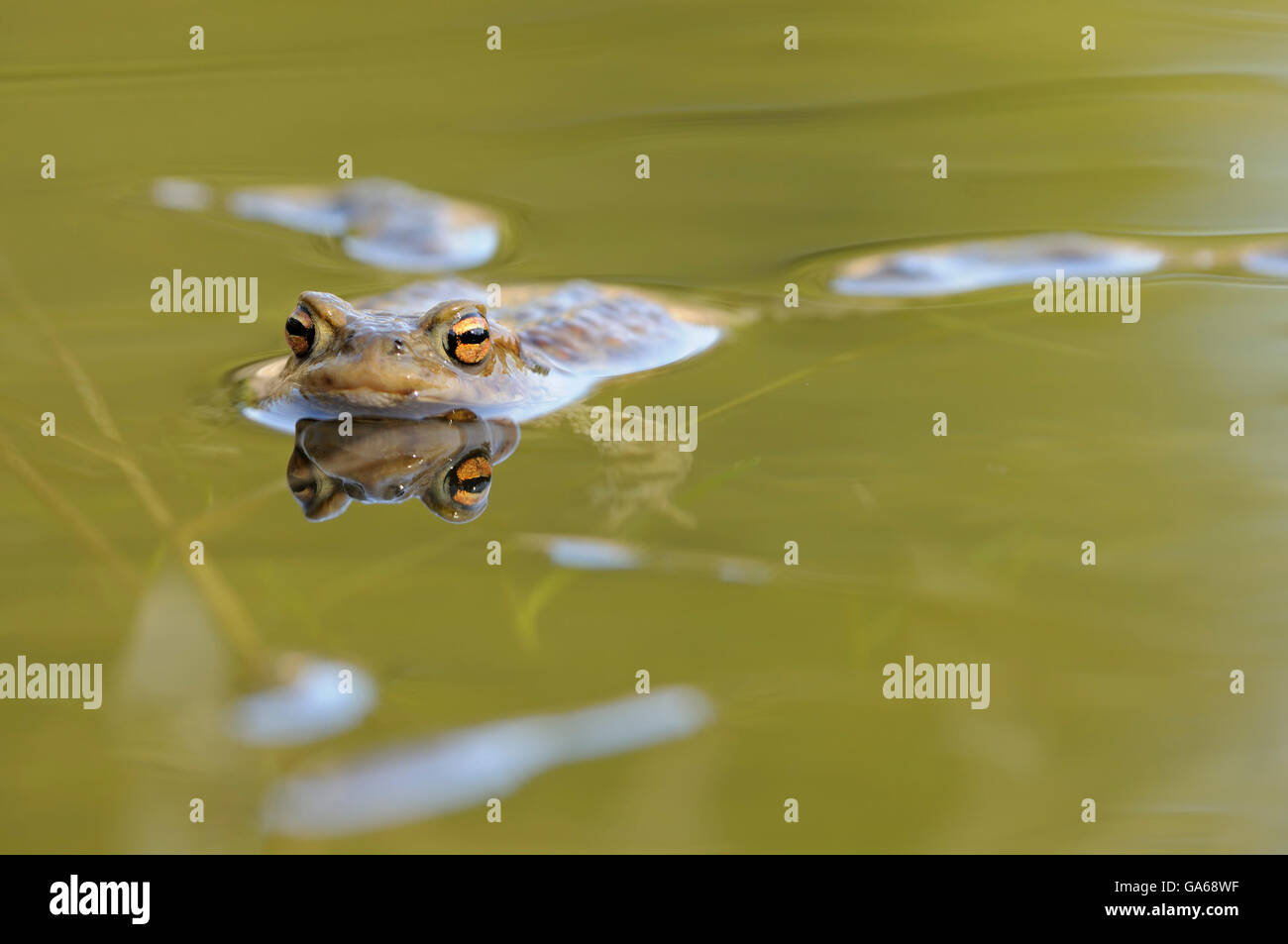 European or common toad (Bufo bufo) at spawning grounds, reflection, Harz, Saxony-Anhalt, Germany Stock Photo