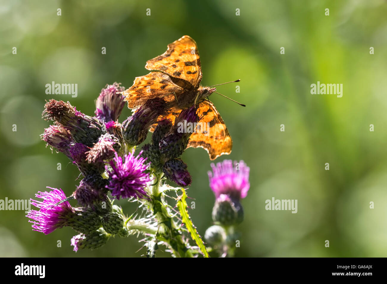 Comma butterfly (Polygonia c-album) feeding on purple thistle flower on a sunny summer day - Stock Image
