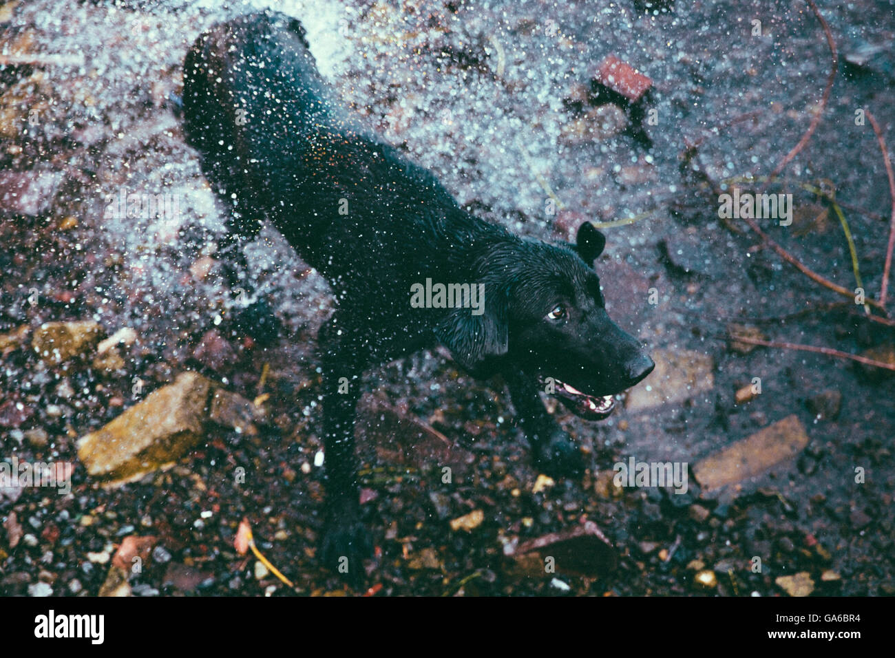 A Black Lab shaking itself dry on a rocky riverbank Stock Photo