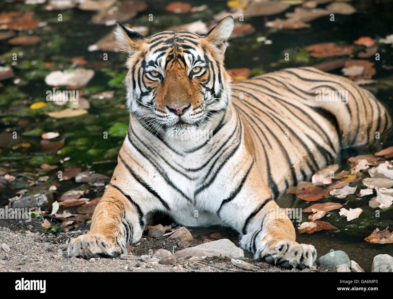 The image of Tiger ( Panthera tigris ) T39, Noor was taken in Ranthambore, India - Stock Image