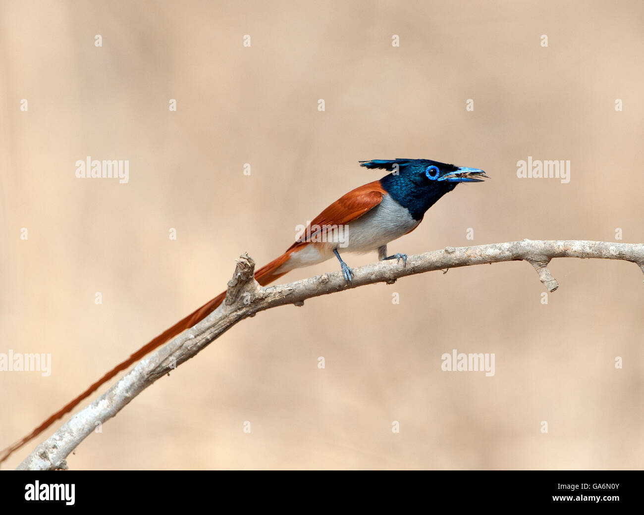 The image of Paradise Flycatcher (Terpsiphone paradisi) was taken in Ranthambore national park, India Stock Photo
