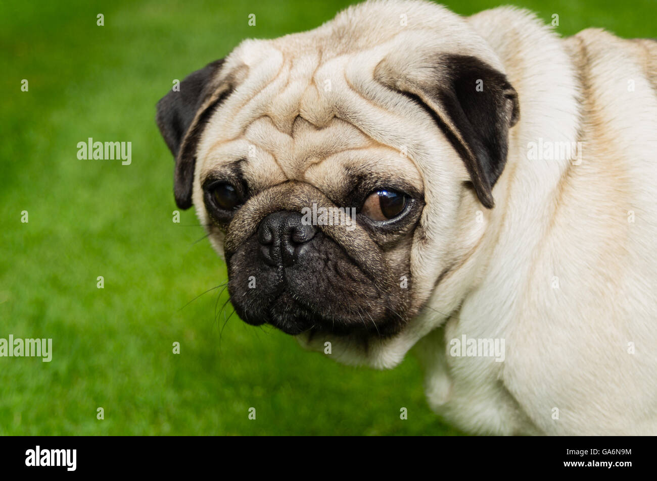 A pug dog outdoors on a lawn - Stock Image