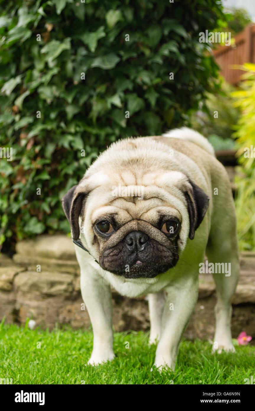 A pug dog outdoors in a garden - Stock Image