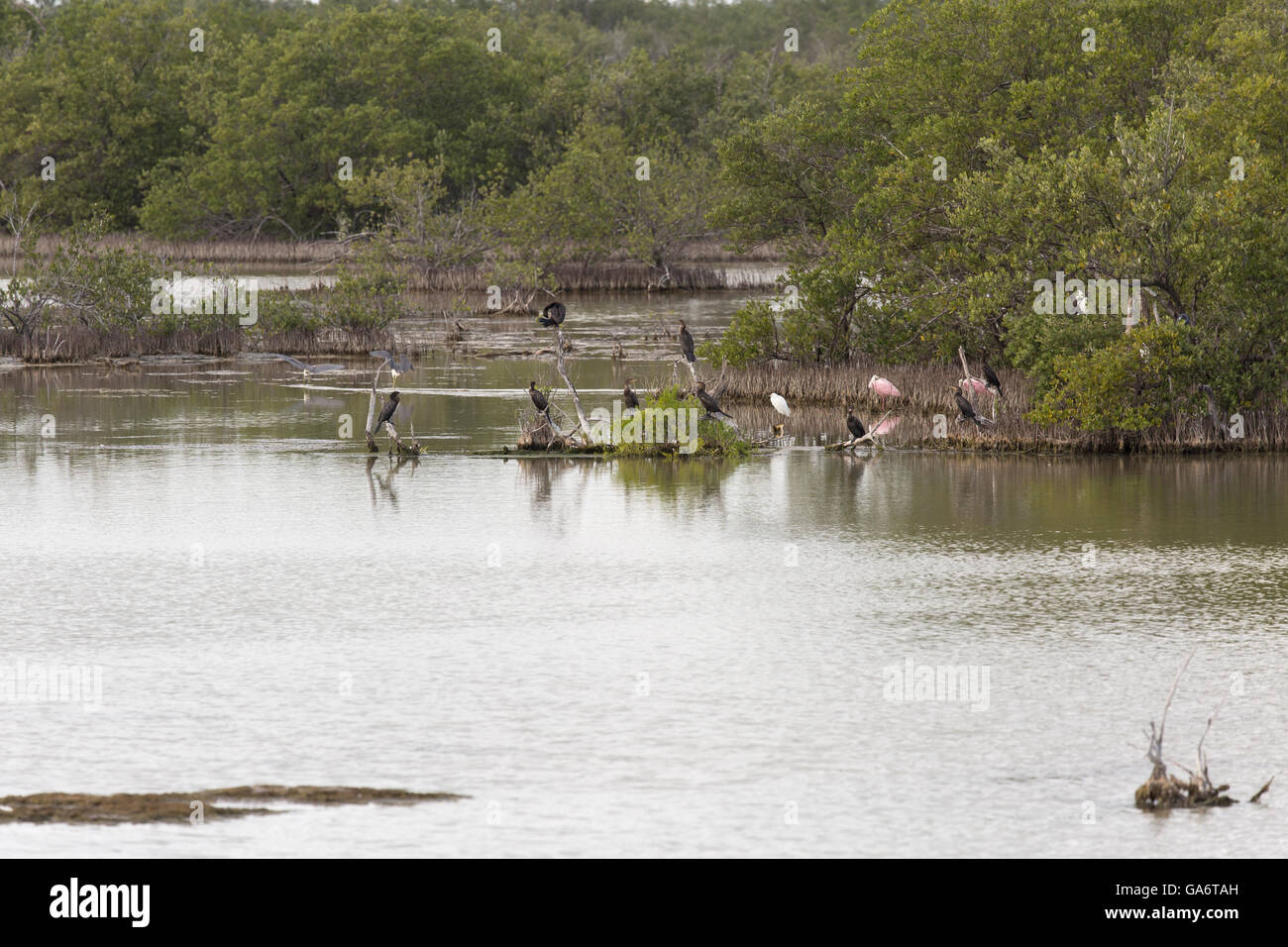 Zapata swamp with mangroves and roseate spoonbill, herons, cormorants, and other bird species - Stock Image