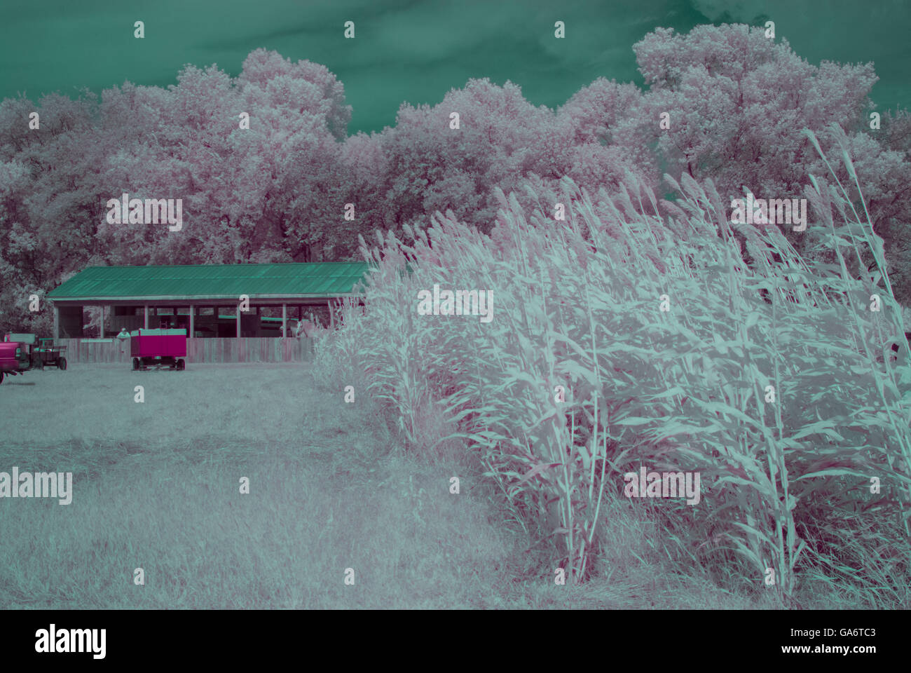 Infra red photo of some grass, trees and sorghum - Stock Image
