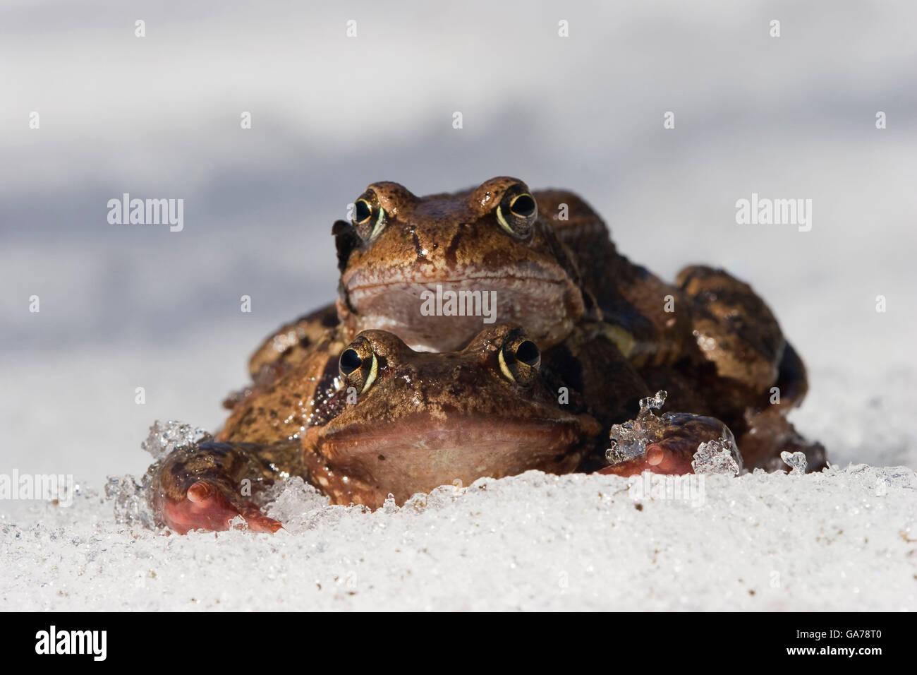 Grasfrosch (Rana temporaria) Grass Frog - Stock Image