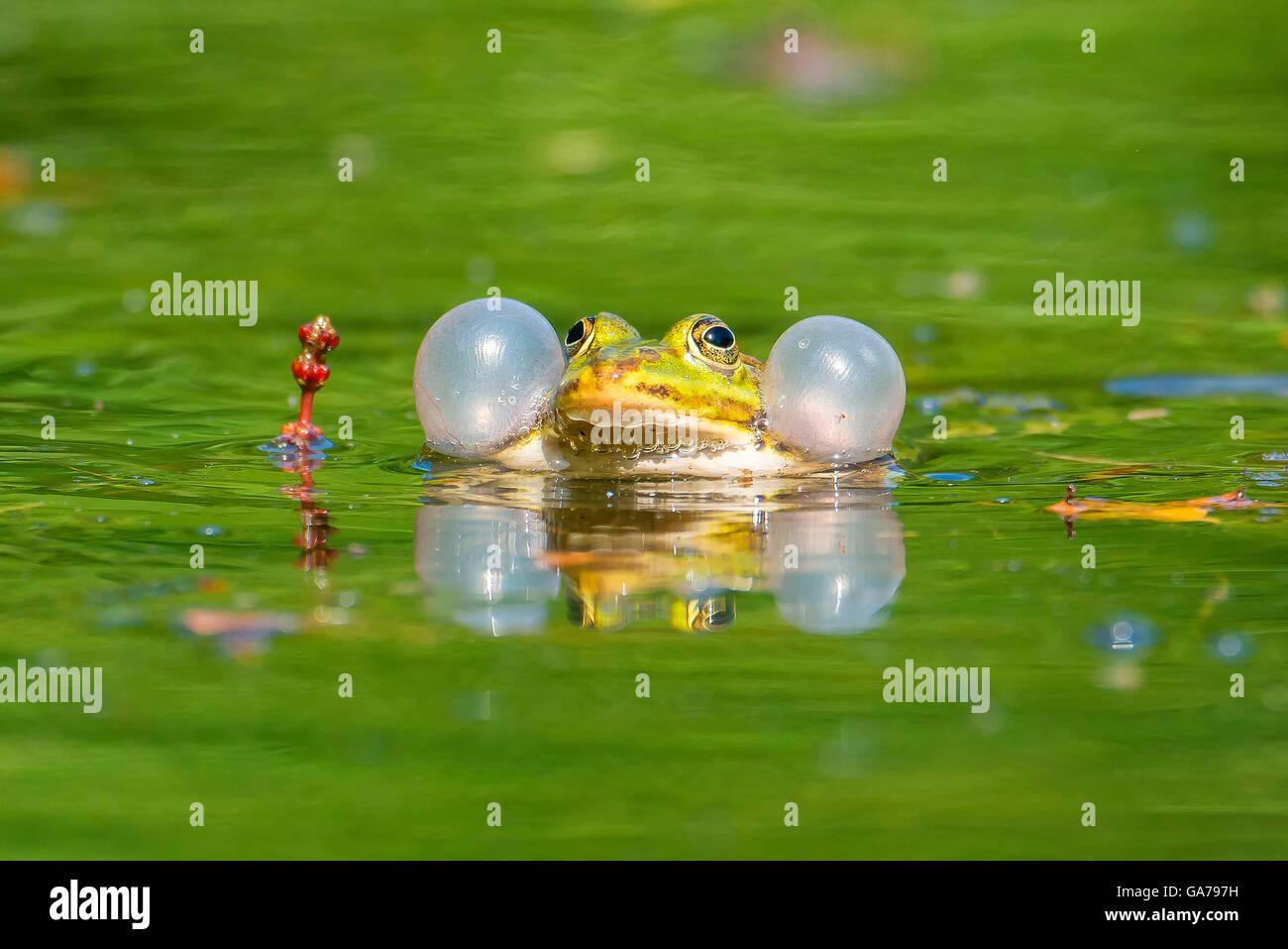 Techfrosch (Rana esculenta) Edible Frog - Stock Image