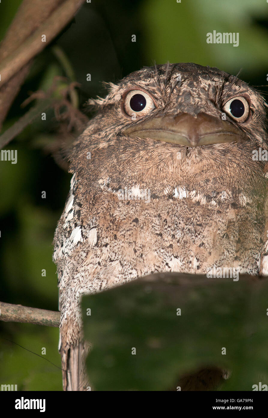 The image of Srilanka Frogmouth (Batrachostomus moniliger) In Kerala, India - Stock Image