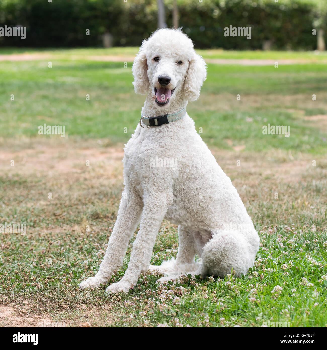 Poodle dog portrait at a park. - Stock Image
