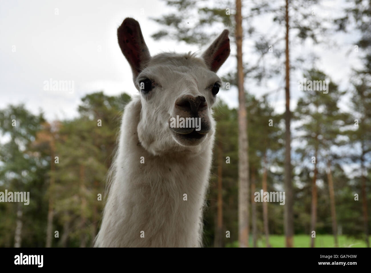 Head of a White llama (lama glama) in a park in the North of Sweden. - Stock Image