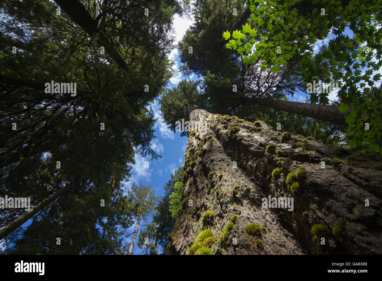 Low angle view of trees in the Hoh Rainforest, Hall of Mosses Trail, Olympic National Park, Jefferson County, Washington, - Stock Image