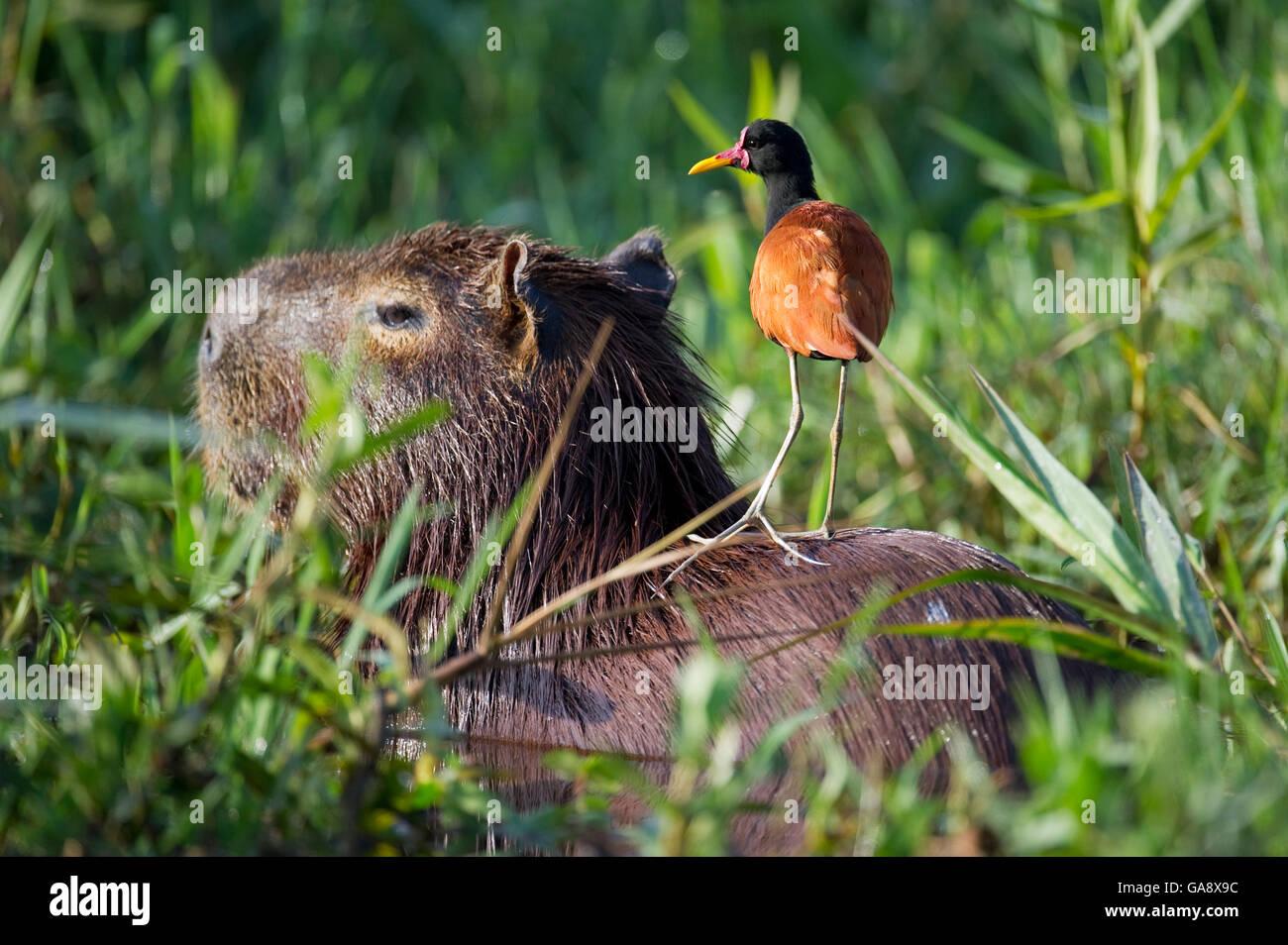Wattled Jacana (Jacana jacana) perched on resting Capybara (Hydrochoerus hydrochaeris)  Mato Grosso, Pantanal, Brazil. Stock Photo