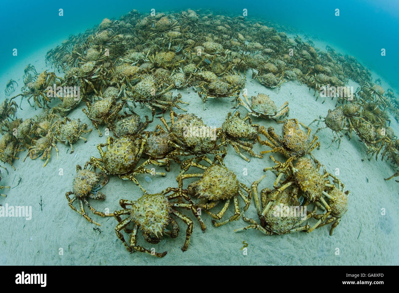 Aggregation of thousands of Spider crabs (Leptomithrax gaimardii) for moulting, South Australia Basin, Australia. - Stock Image