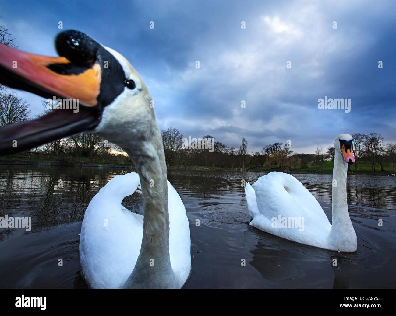 Mute swans (Cygnus olor) Highgate Ponds, Hampstead Heath, London, UK, February. Stock Photo