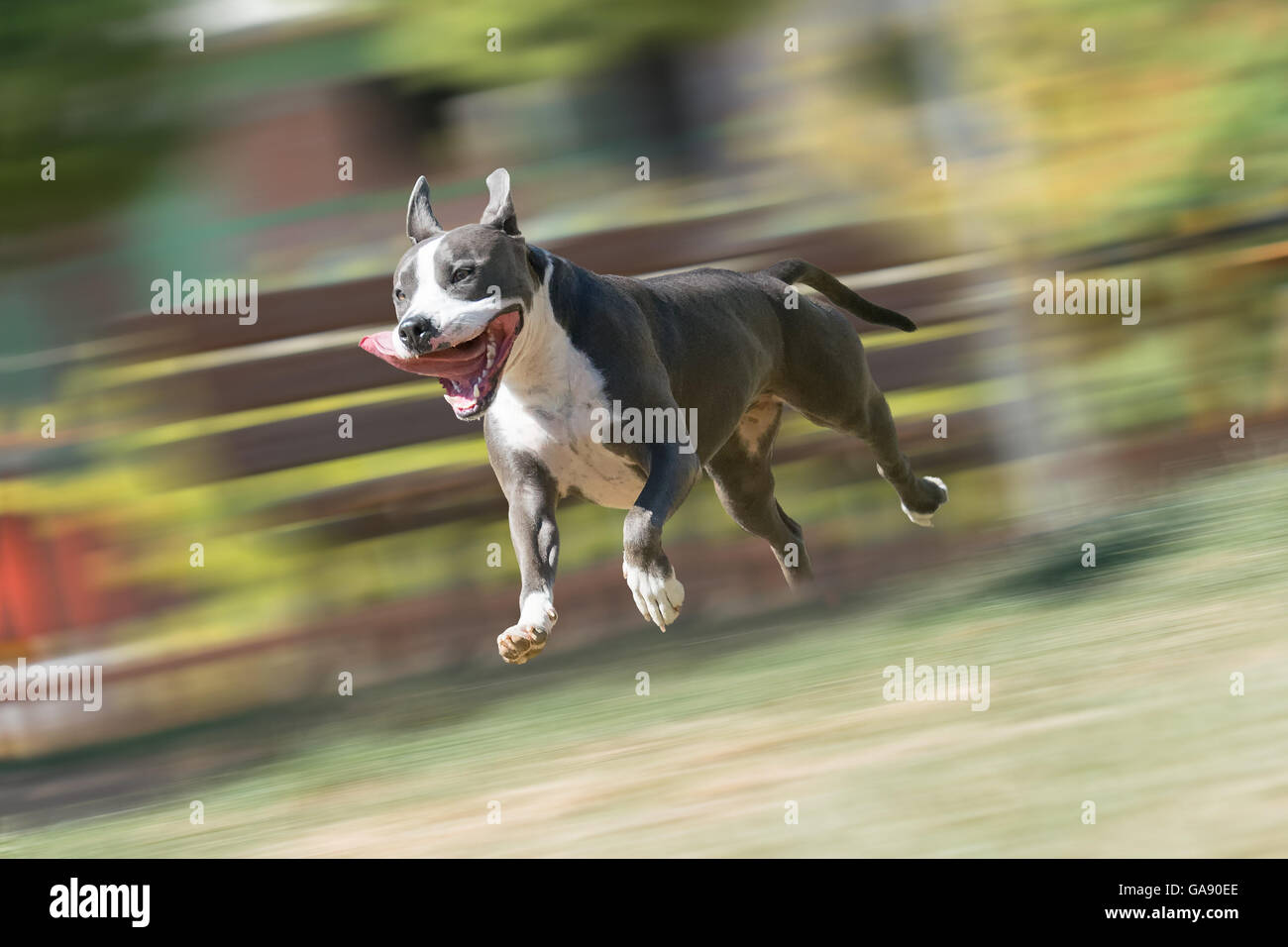 American Staffordshire terrier running and playing at a park. Stock Photo