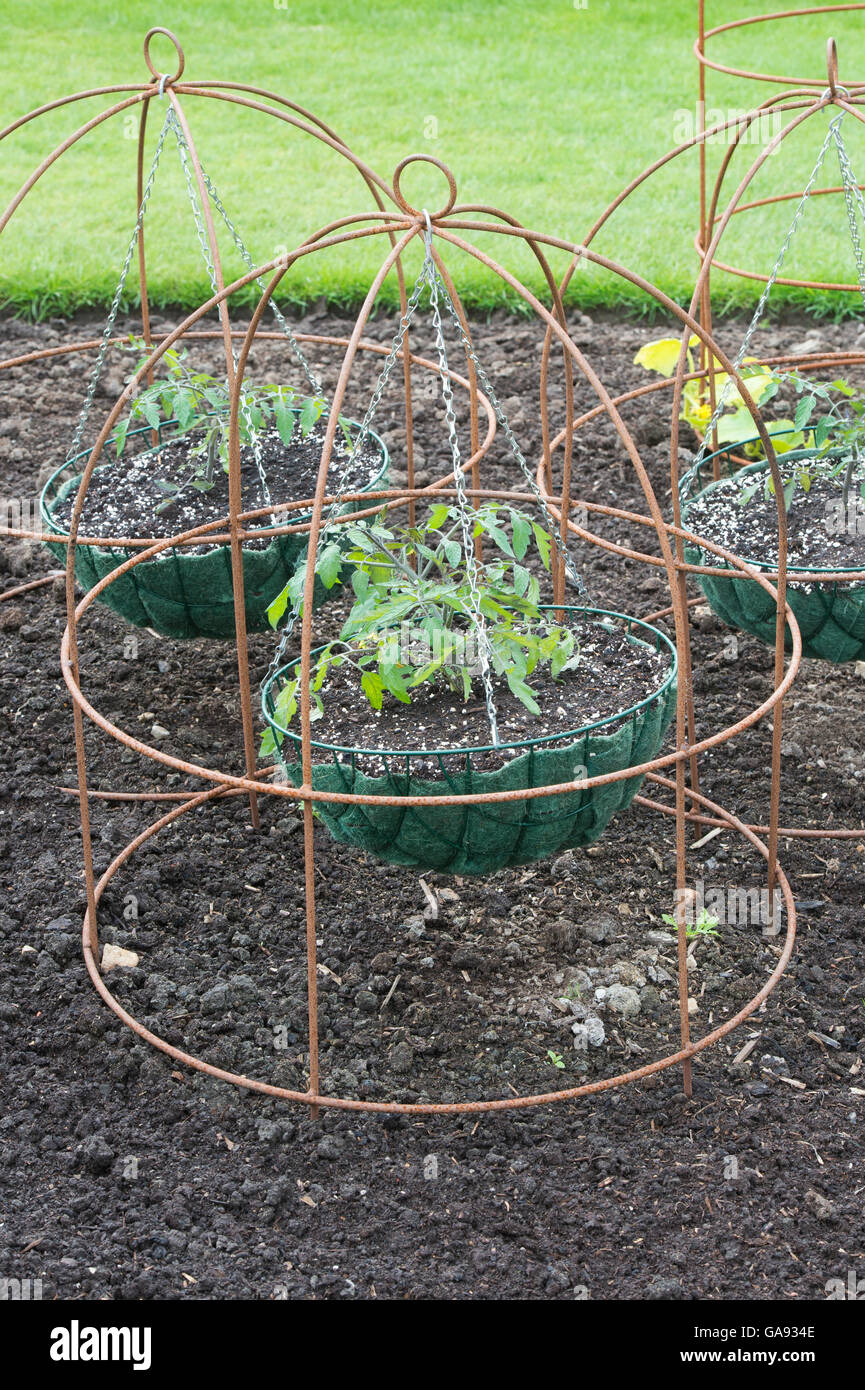Tumbling tom yellow tomato plants in hanging baskets inside a frame at RHS Harlow Carr, Harrogate, UK - Stock Image