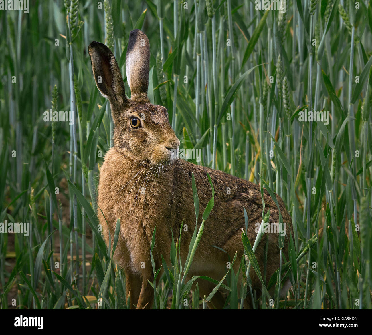 European Brown Hare, adult in barley field, Lancashire, UK - Stock Image