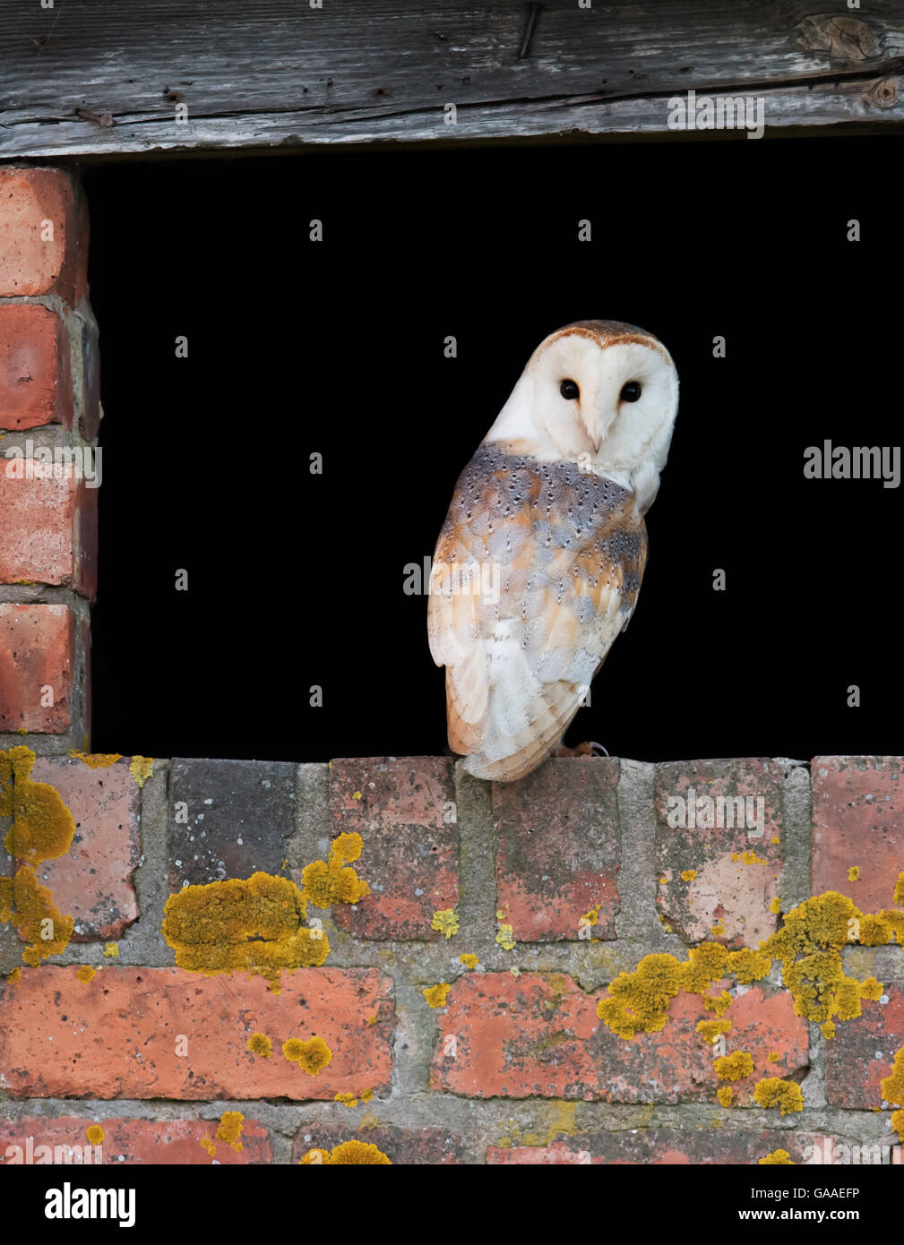 A wild Barn Owl Tyto Alba at entrance to it's nest site with a classic over the shoulder pose, Warwickshire Stock Photo