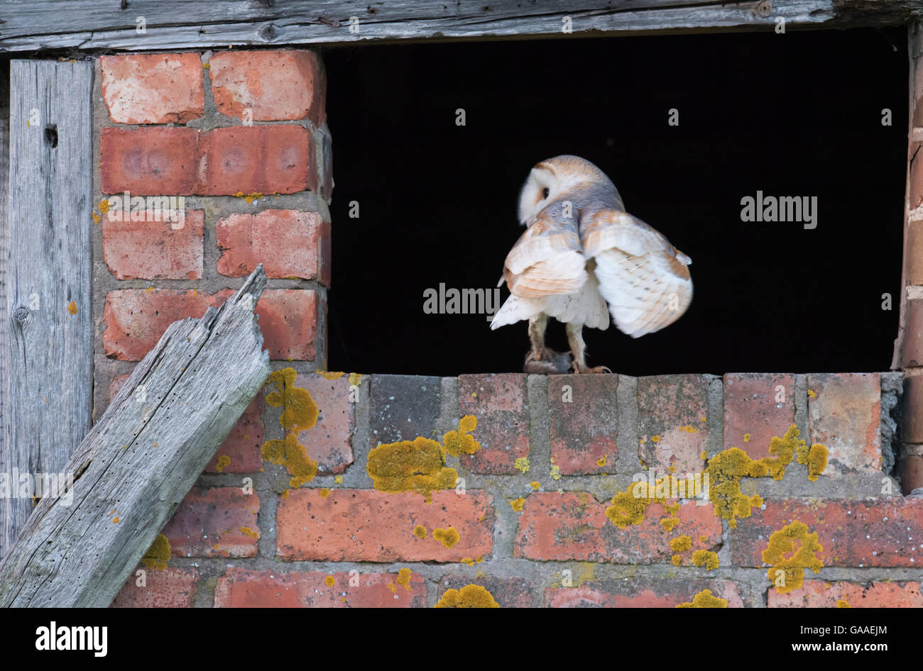 A wild barn owl returning to nest with a vole for it's young, Warwickshire Stock Photo