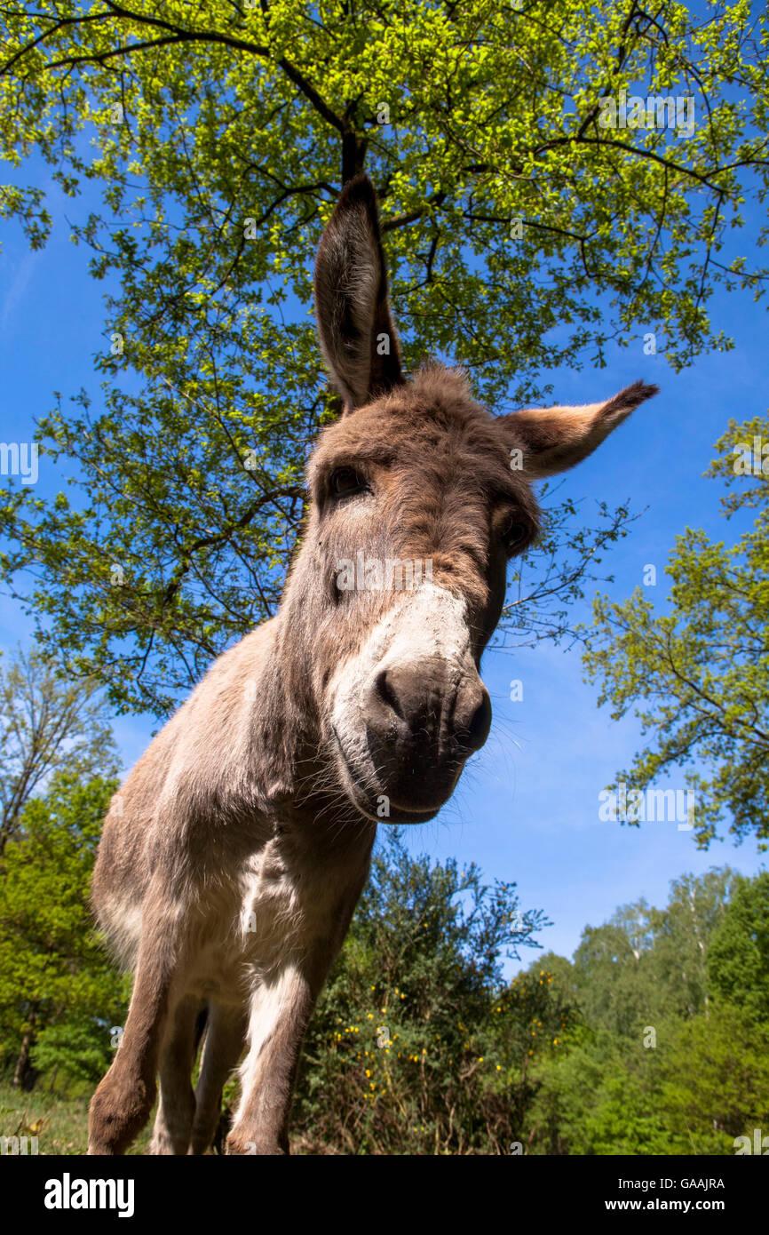 Germany, Troisdorf, North Rhine-Westphalia, donkeys in the Wahner Heath. Stock Photo