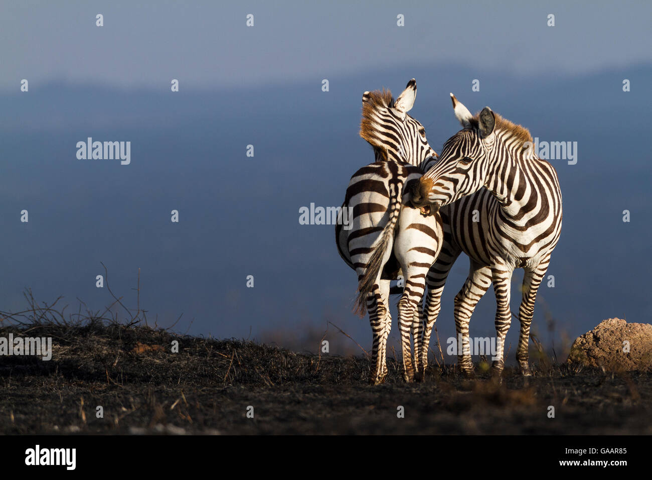 Grant's zebra (Equus burchelli granti) mutual grooming after a bush fire, Masai-Mara Game Reserve, Kenya. October. - Stock Image
