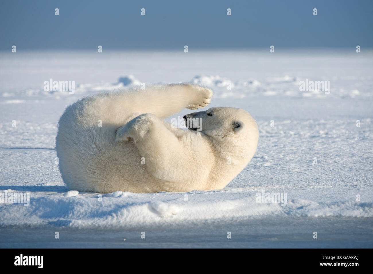 Polar bear (Ursus maritimus) young bear rolling around in the snow, on newly formed pack ice during autumn freeze Stock Photo
