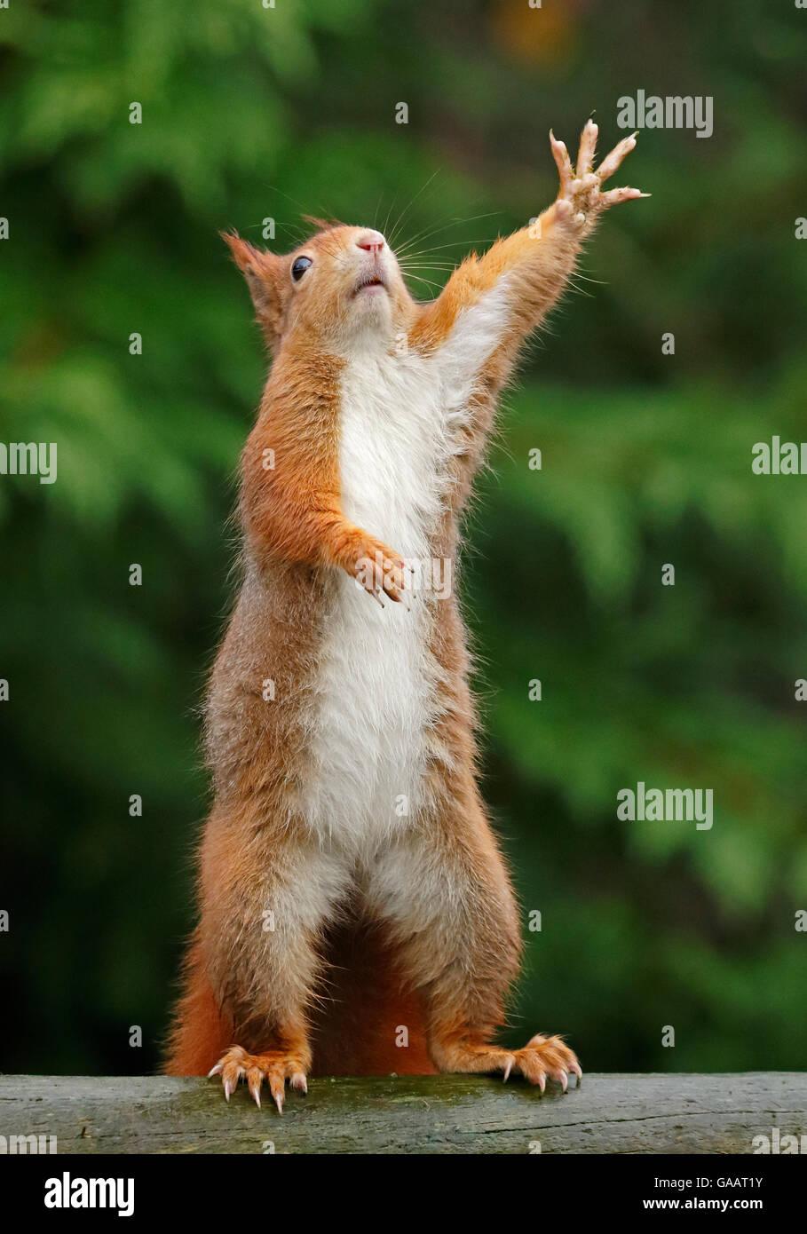 Red squirrel (Sciurus vulgaris) reaching upwards, UK. Captive. - Stock Image