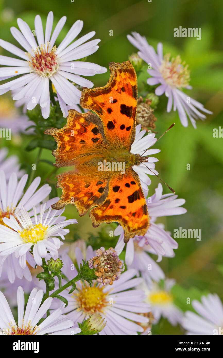 Comma butterfly   (Polygonia c-album) feeding on wild aster, Sutcliffe Park Nature Reserve, Eltham, London, UK, - Stock Image