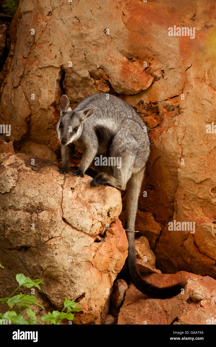 Black-footed rock wallaby (Petrogale lateralis), Cape range National Park, Exmouth, Western Australia - Stock Image
