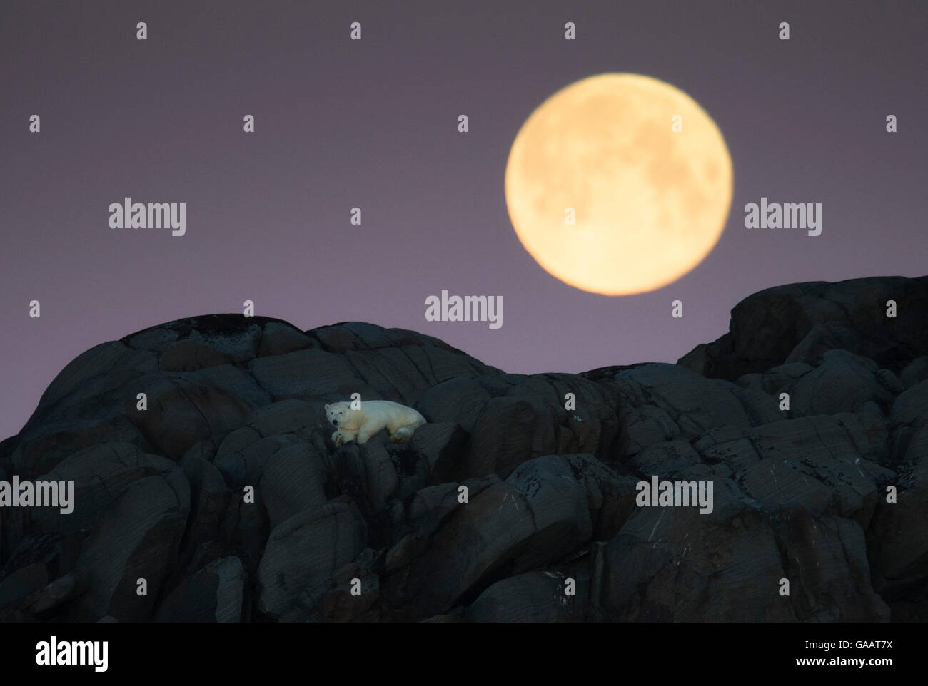 Polar bear (Ursus maritimus) stranded on island, with full moon above, north of Nordaustlandet, Svalbard, Norway, - Stock Image