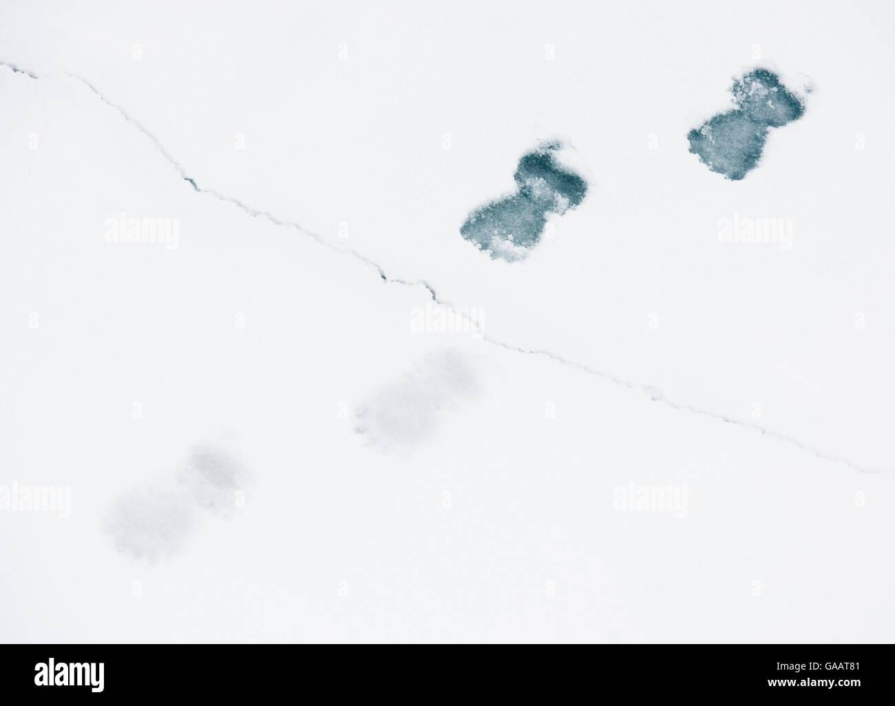 Polar bear (Ursus maritimus) footprints in snow, on cracked ice, Svalbard, Norway, September. - Stock Image