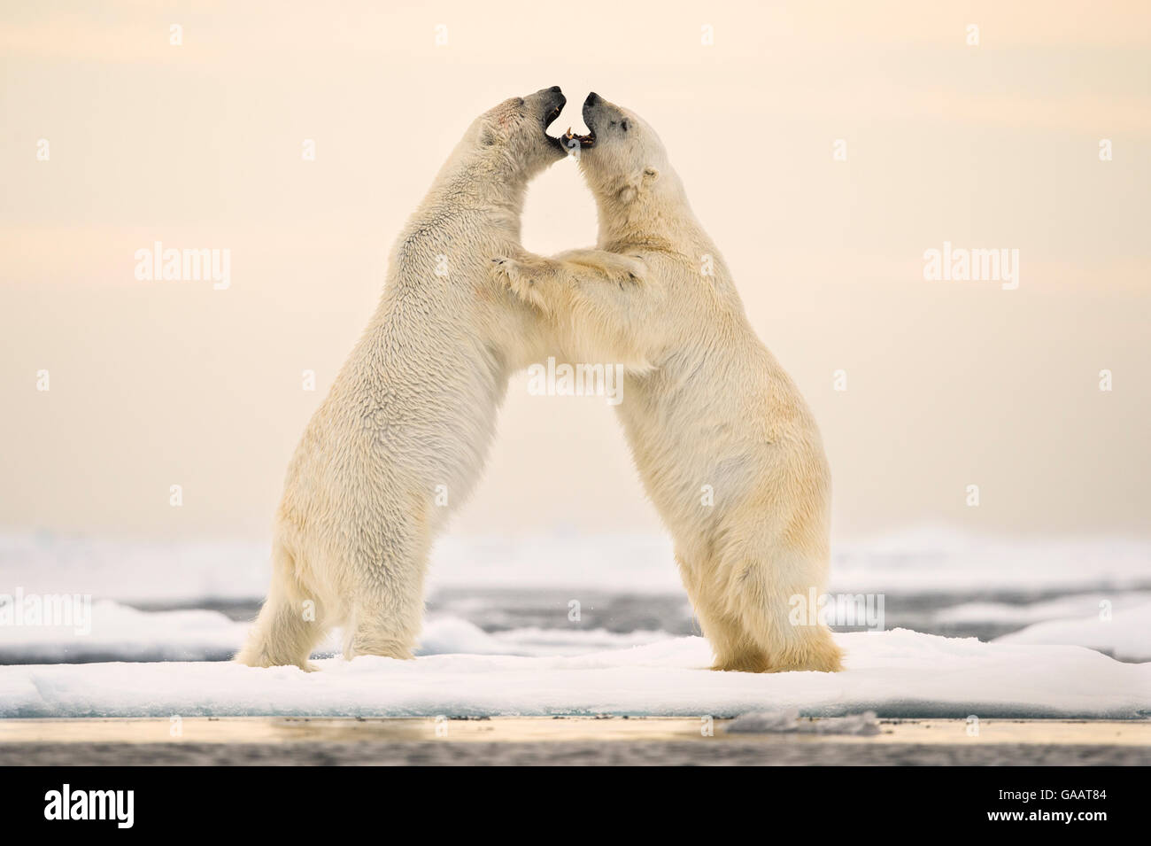 Polar bears (Ursus maritimus) courting on ocean ice north of Spitsbergen, Svalbard, Norway, July. - Stock Image