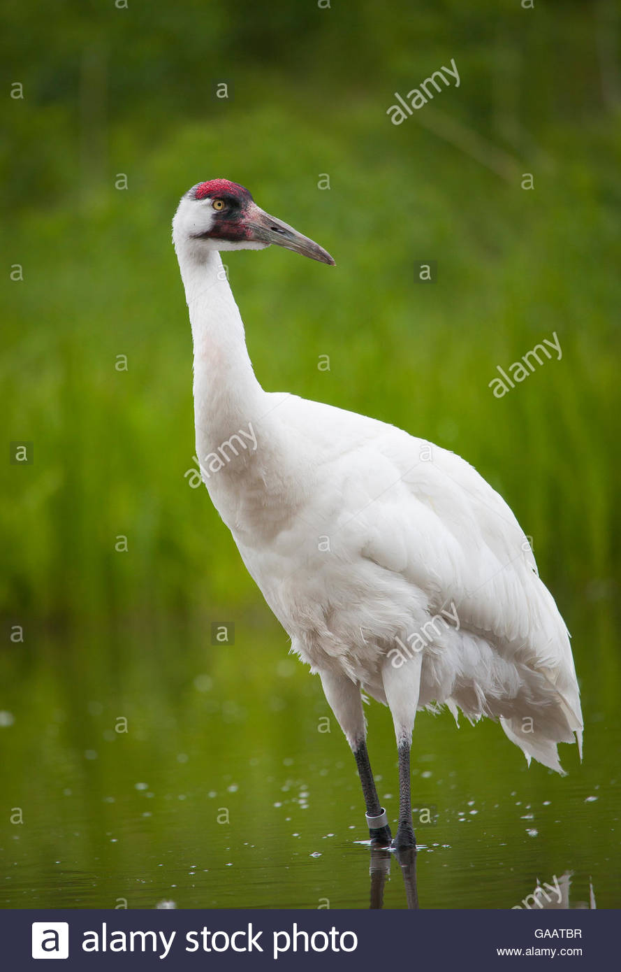 Whooping crane (Grus americana)  International Crane Foundation, Wisconson, USA. Captive. - Stock Image