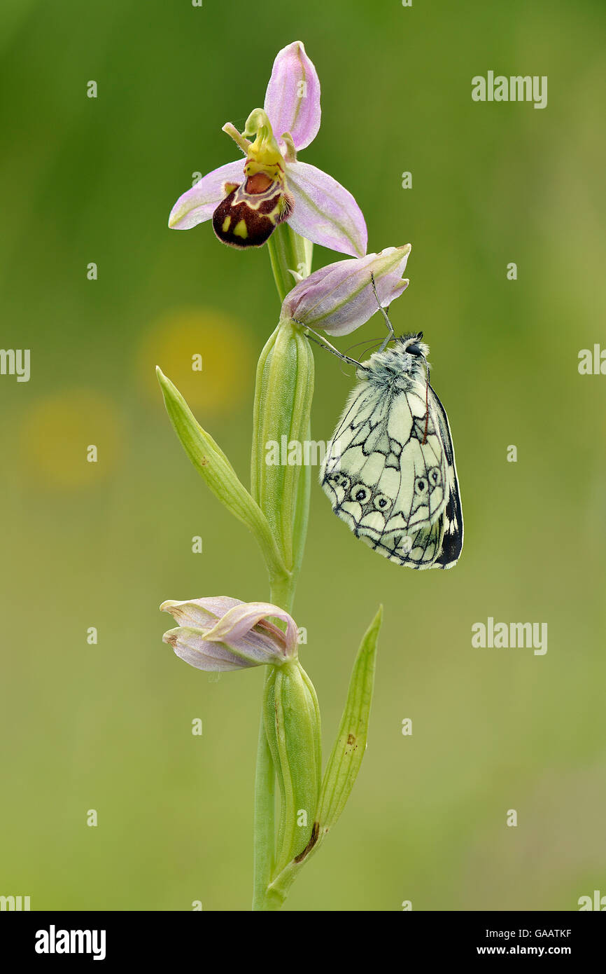 Newly emerged Marbled white butterfly (Melanargia galathea) on Bee orchid (Ophrys apifera), Bedfordshire, England, - Stock Image