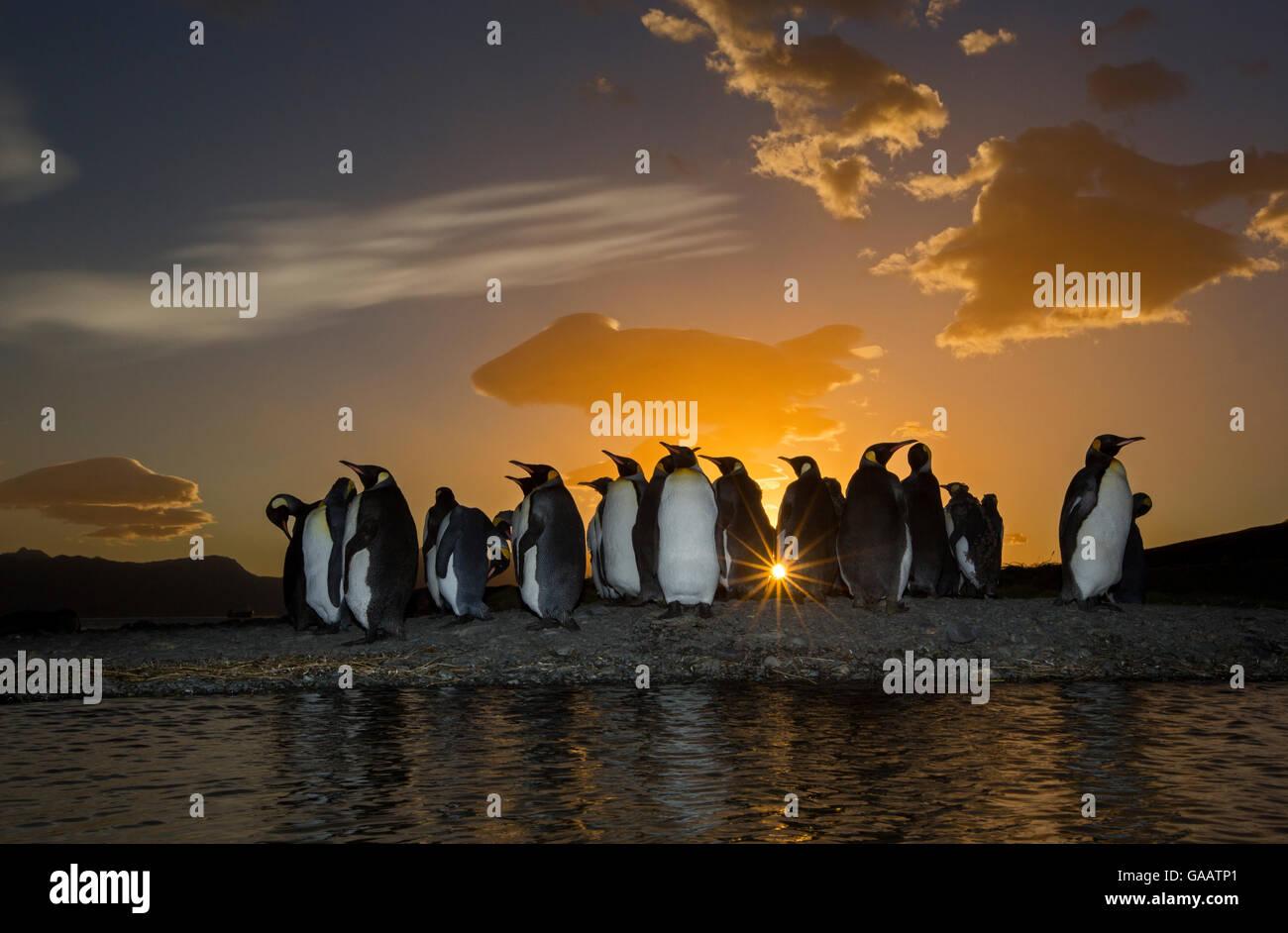 King Penguins at Dawn 51