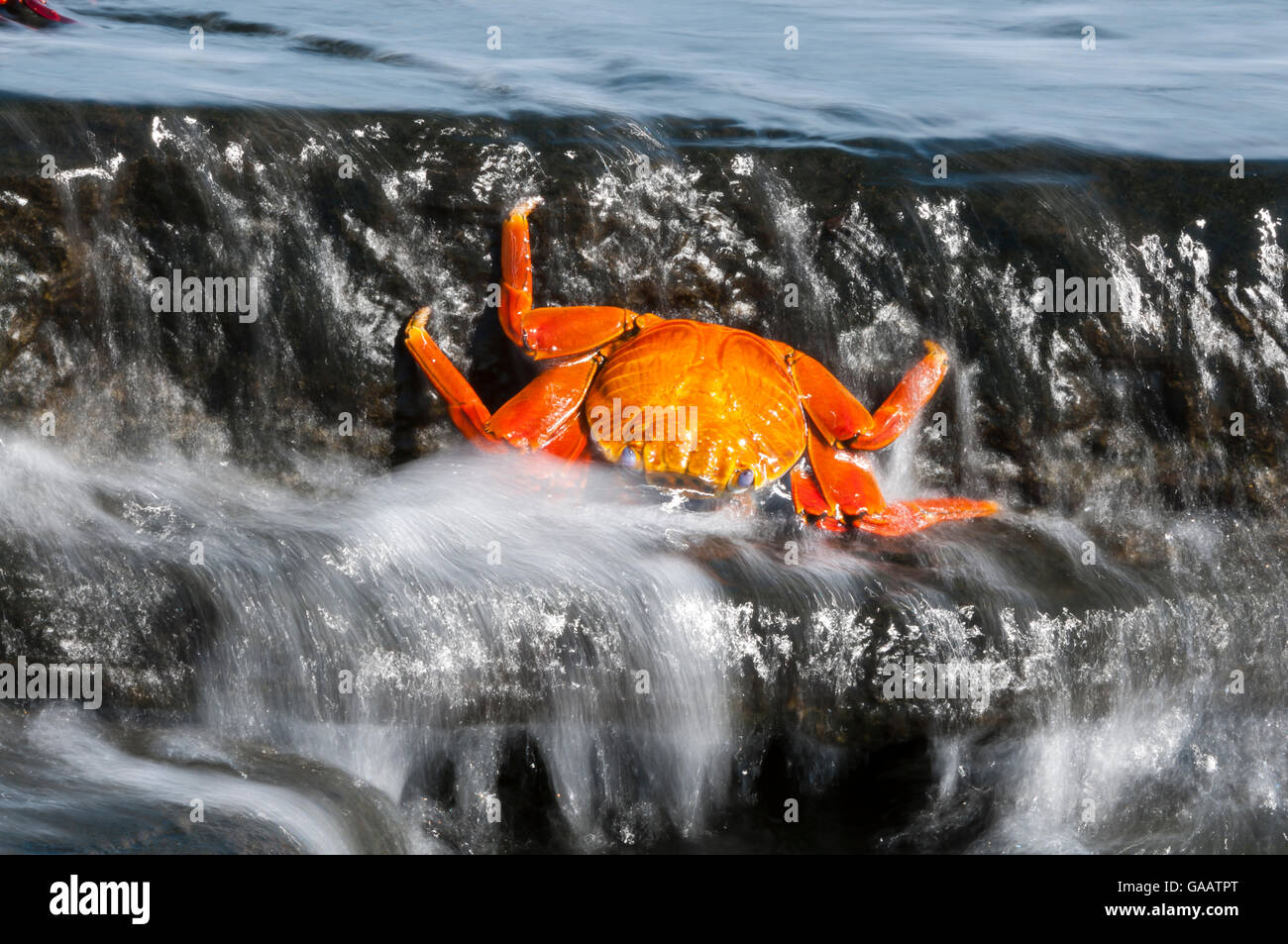 Dead Sally-lightfoot crab (Grapsus grapsus) washed up in surf, Puerto Egas, James Bay, Santiago Island, Galapagos, - Stock Image