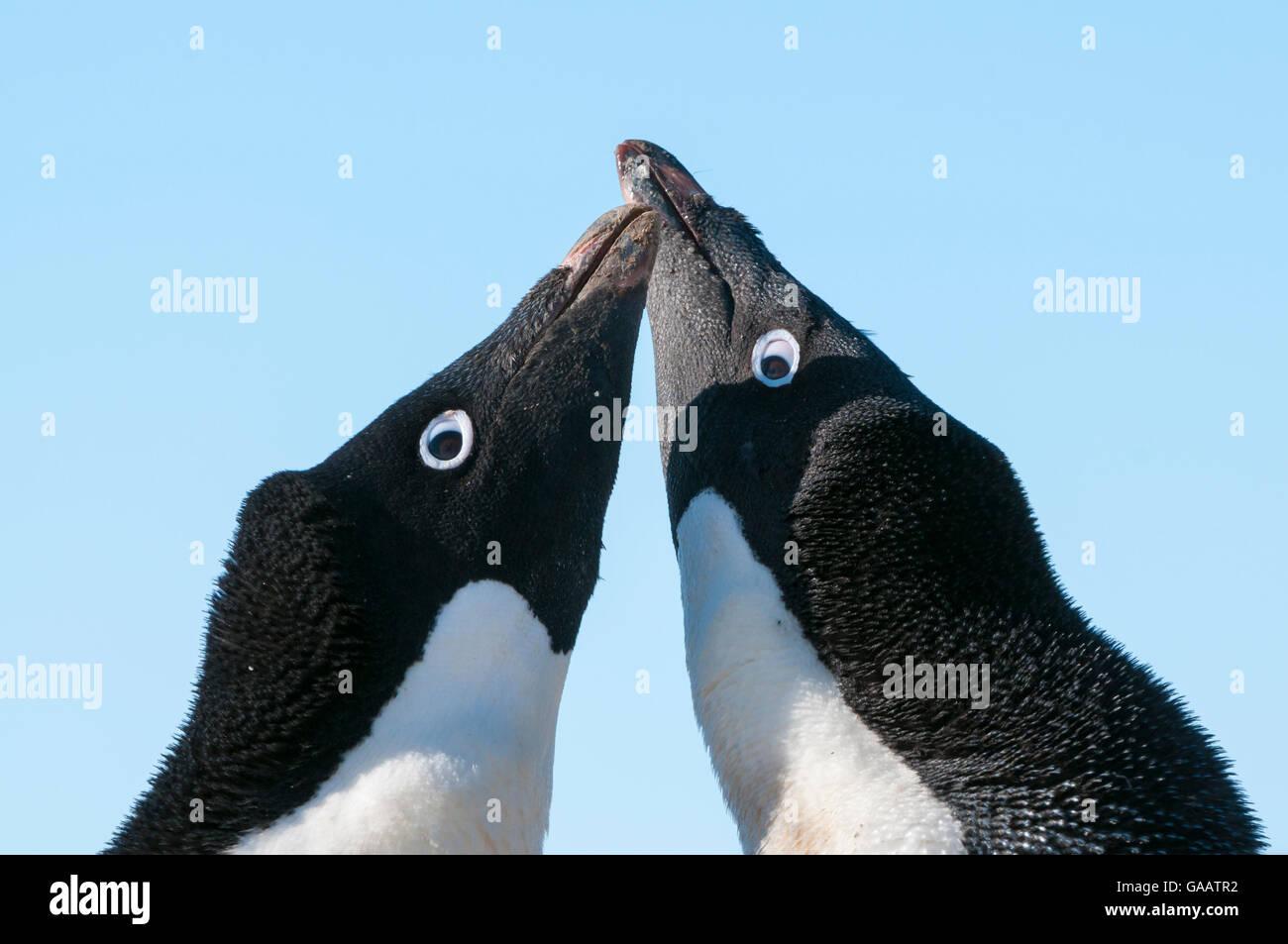 Adelie penguin (Pygoscelis adeliae) courtship behaviour. Prydz Bay, near Davis Station, Vestfold Hills, Ingrid Christensen - Stock Image