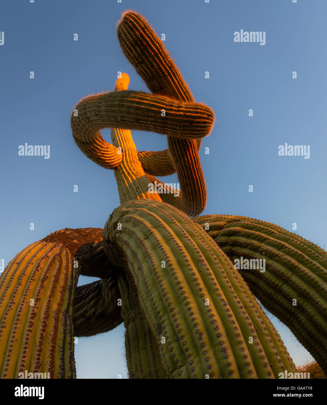 Low angle view of Saguaro cactus (Carnegiea gigantea) with twisted lowered arms drooping to the ground, a result - Stock Image