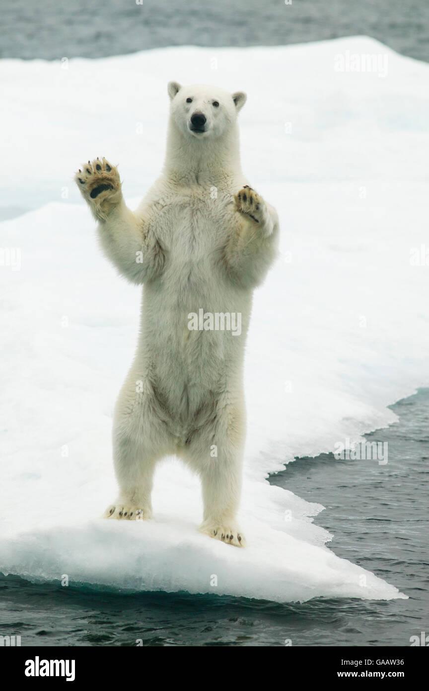 polar bear ursus maritimus waving standing on hind legs