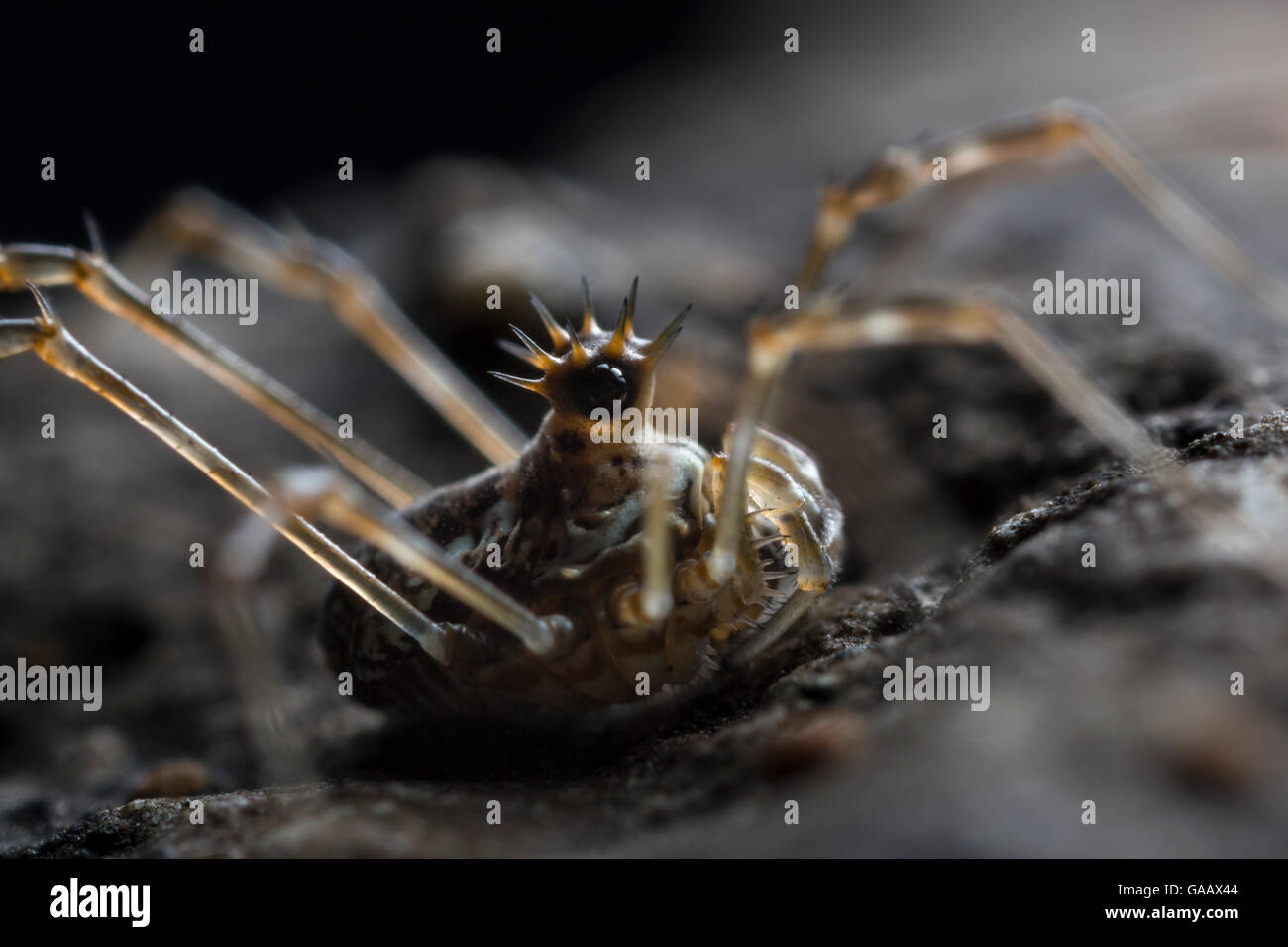 Harvestman (Megabunus diadema) with prominent, spiky eyes,  Peak District National Park, Derbyshire, UK. April - Stock Image