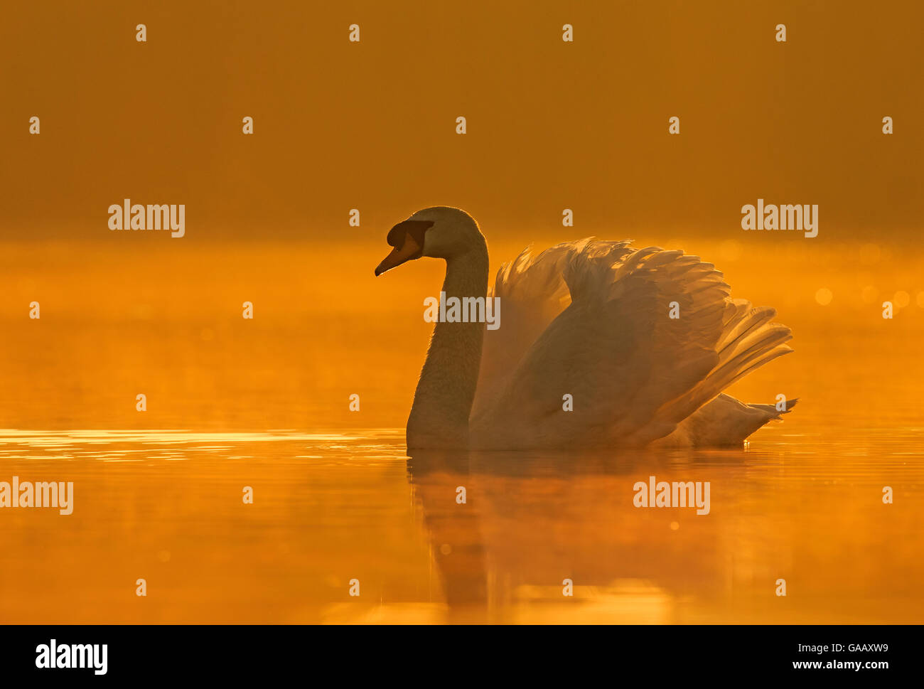 Mute swan (Cygnus olor) with wings raised defensively at sunrise, Wales, UK, April. - Stock Image
