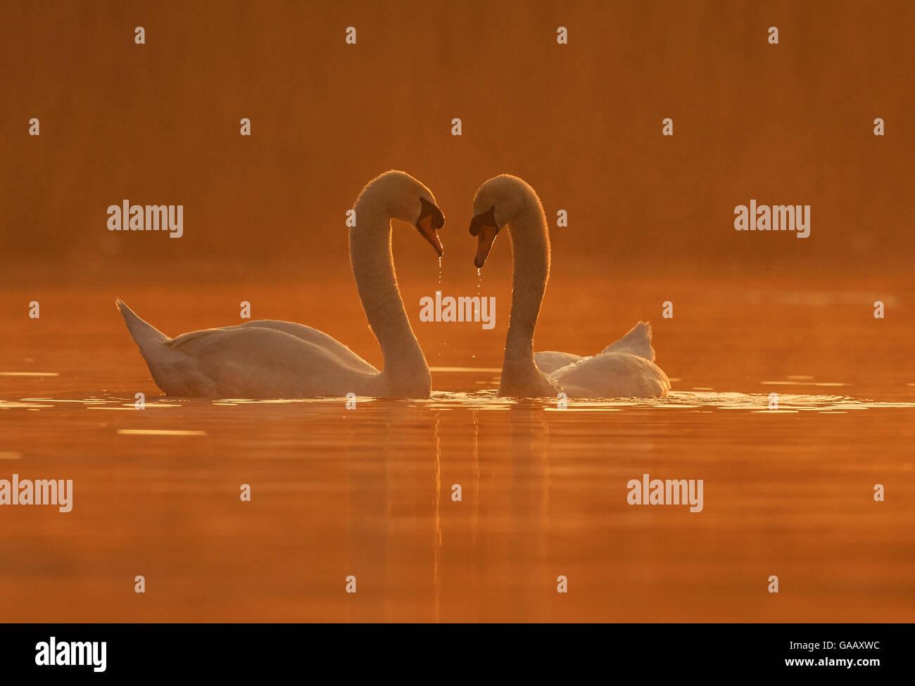 Mute Swan (Cygnus olor) courtship behaviour, Wales, UK, April. - Stock Image
