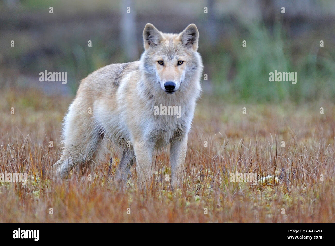 Grey wolf (Canis lupus lupus)  Finland, September. Stock Photo