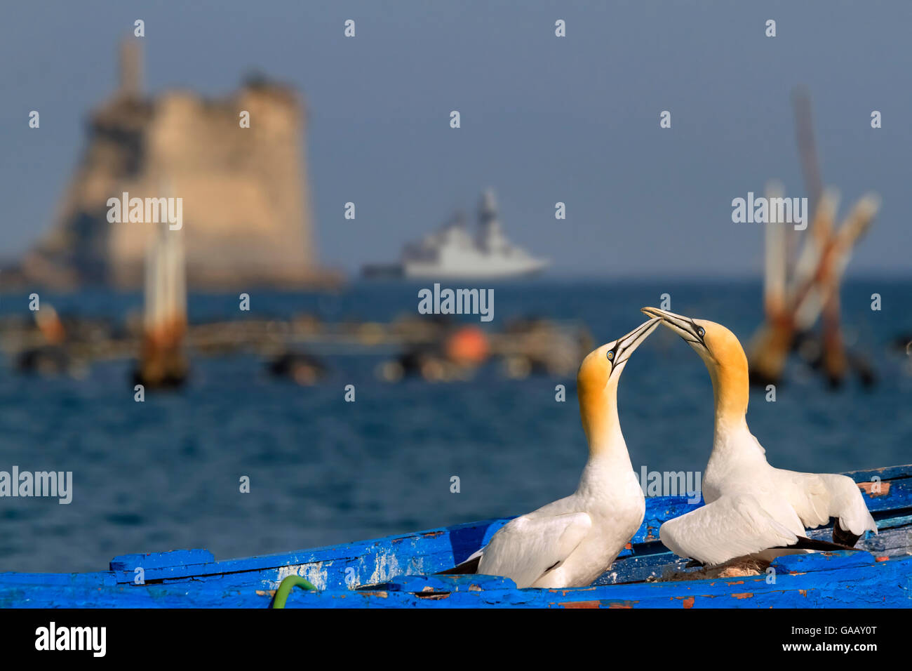 Gannets (Morus bassanus) courtship behavior on nest on abandoned boat, La Spezia Gulf, Italy. Mediterranean Sea. - Stock Image