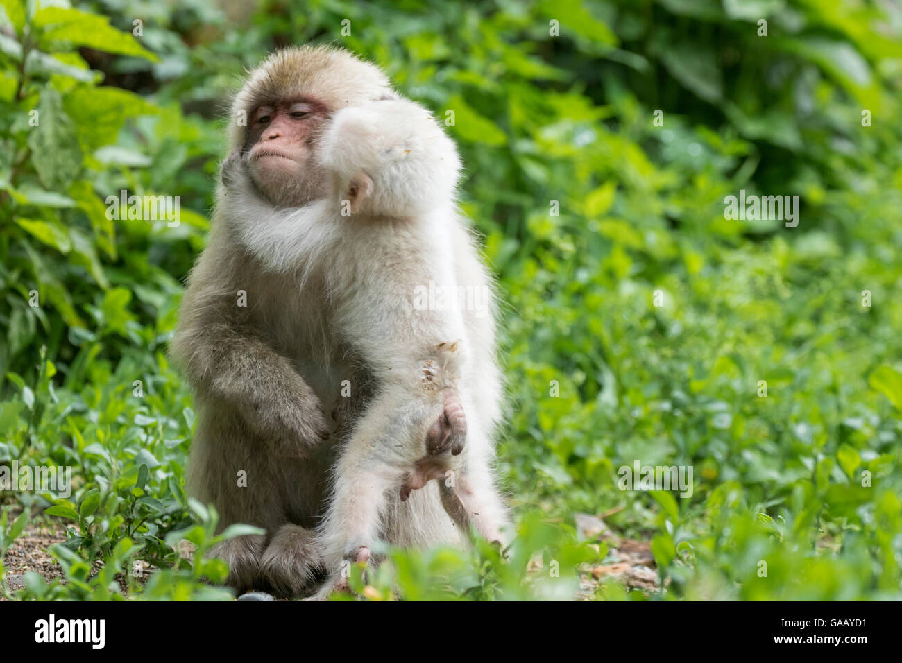 Japanese macaque (Macaca fuscata fuscata) mother with rare white furred male baby, Jigokudani Valley,  Nagano Prefecture, - Stock Image