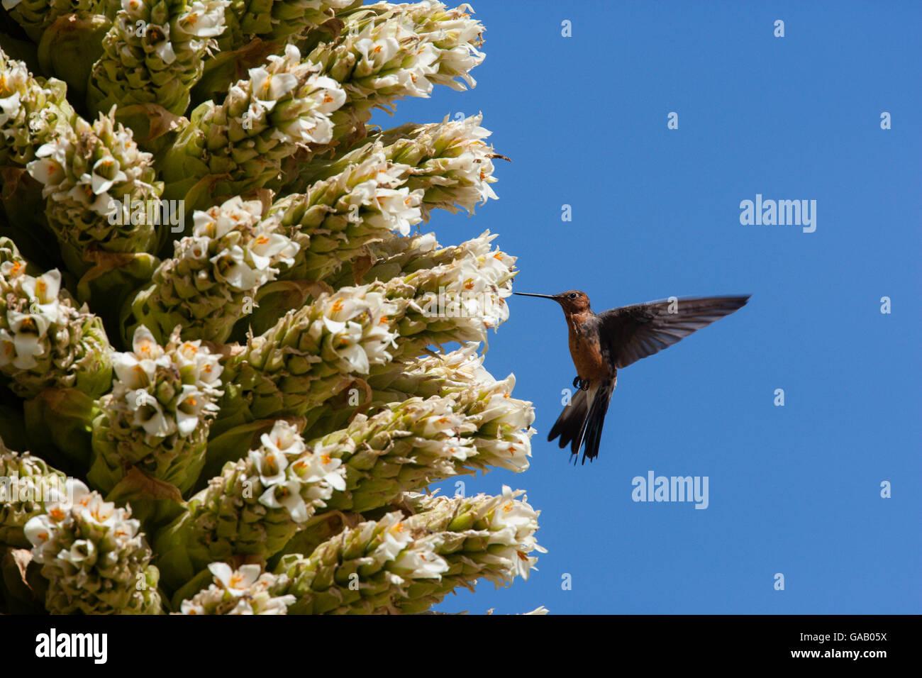 Giant humming bird (Patagona gigas) feeding from Queen of the Andes (Puya raymondii) flowers,  Cordillera Blanca Stock Photo