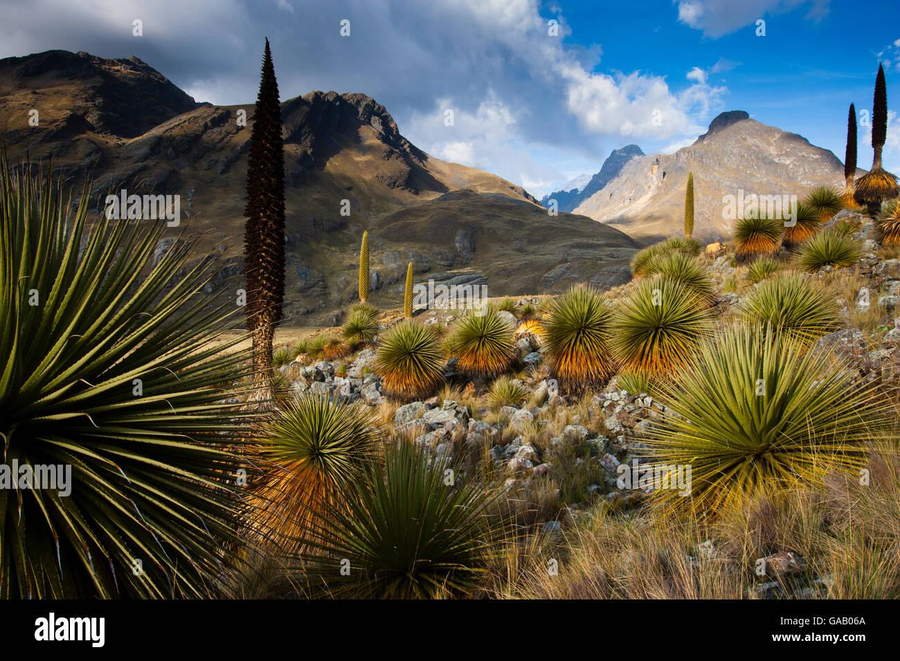 Queen of the Andes (Puya raymondii) Cordillera Blanca Massif, Andes, Peru, November. Stock Photo