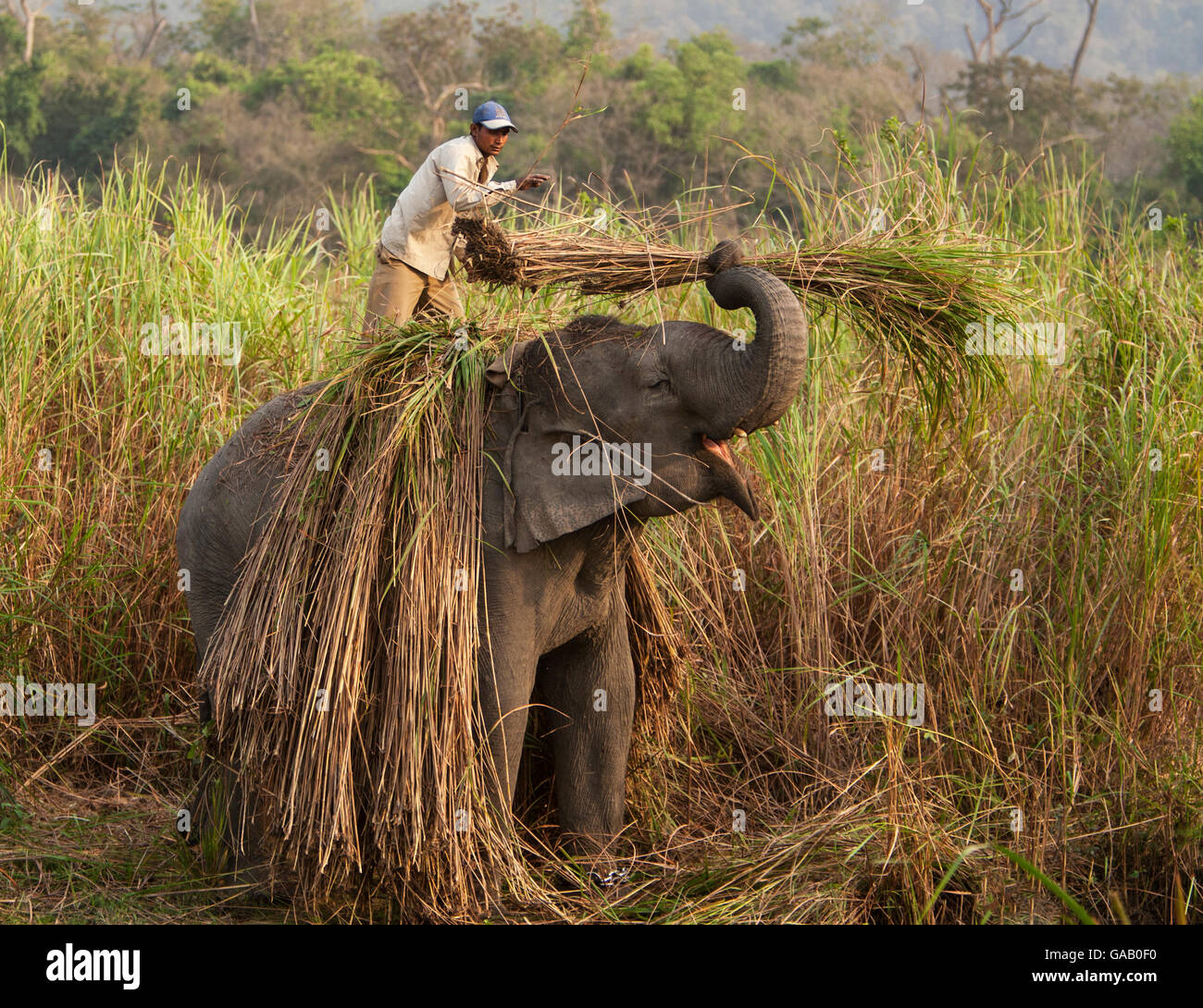 Asian elephant (Elephas maximus) domesticated elephant working, picking reeds, Kaziranga National Park, Assam, India, - Stock Image