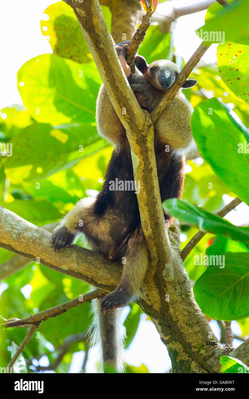 Northern tamandua (Tamandua mexicana) climbing tree, Corcovado National Park, Osa Peninsula, Puntarenas Province, Stock Photo